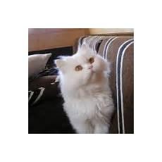 annunci gatti persiani i cuccioli persiani e il loro temperamento petpassion