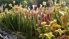 fleischfressende pflanzen kaufen fangblatt karnivorenshop