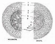 Anatomi Struktur Dan Fungsi Akar Tumbuhan Pintar Biologi