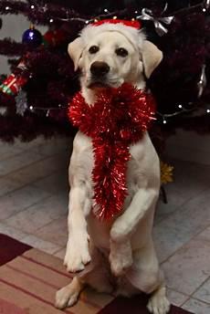 merry christmas dog christmas dog christmas animals merry christmas dog