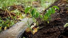 walnussbaum 252 ber setzlinge vermehren 187 so geht s