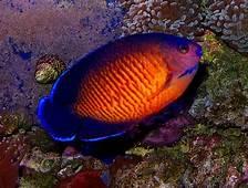IWAKE NESTA BROW 10 Ikan Tercantik Dan Terkseksi Di Dunia