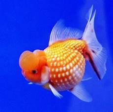 46 Gambar Ikan Koki Besar