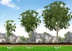 American Elm Tree Fast Growing Trees Lychee Tree