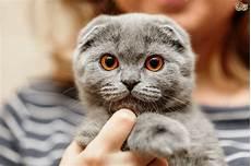 cat breed 5 popular flat faced cat breeds pets4homes