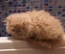 gatti persiani da adottare gattino persiano maschio annunci animali trovacuccioli