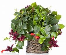 plantes retombantes d int 233 rieur s 233 lection