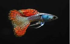 Gambar Harga Ikan Guppy Impor Lokal Murah Sai Termahal