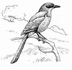 dibujos del turpial de venezuela para colorear birds of yosemite national park 1954 1963 quot jays magpies and crows quot by cyril a stebbins