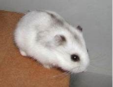 6 Baby Russian Hamsters Free To Home