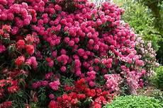arbuste croissance rapide arbustes d 180 ornement