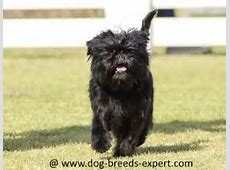 Non Shedding Dog Breeds   Which Breeds Shed Least Hair?