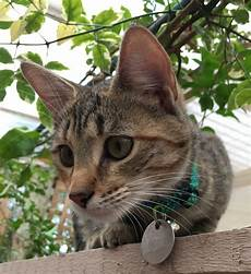 cat breed pictures of 30 cat breeds available in adelaide