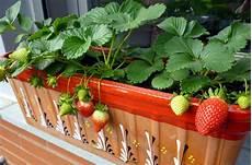 erdbeeren pflanzen auf dem balkon blumenkasten fruchtbildung