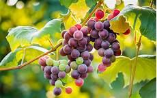 Gambar Buah Anggur Yang Segar Dan Sehat