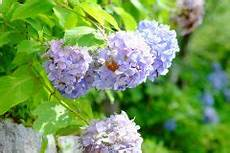 hortensien f 228 rben 187 so beeinflussen sie die farbe