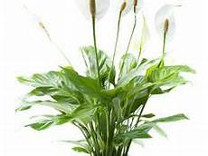 pflanzen dunkle räume 11 zimmerpflanzen f 252 r dunkle ecken garten