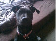 Anjala (American Pitbull Terrier, Dobermann