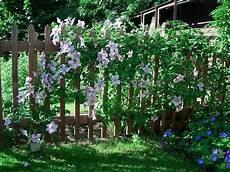 ein schöner garten kletterpflanzen f 252 r zaun und rankgitter seite 2