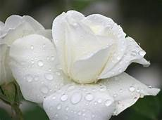 White Flowers Hd Images by White Flower Images 1 Free Hd Wallpaper
