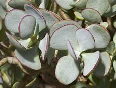 plante succulente entretien les plantes succulentes entretien minimum pour effet