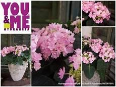 And Me Malvorlagen Romantis Hydrangea Macrophylla You Me Rie 09 Pbr Plantipp