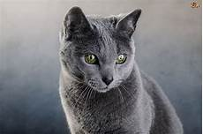 blue cats russian blue cat breed facts highlights buying advice