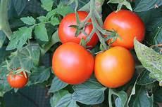 ist tomate eine frucht tomaten sind sie obst oder gem 252 se das tomaten wiki