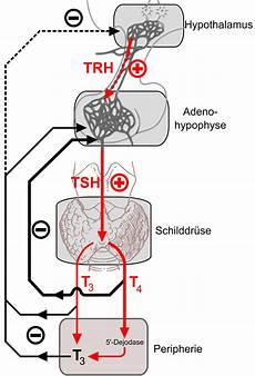 schilddrüse symptome test file thyroid hormone feedback png wikimedia commons