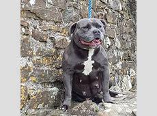 Kc blue staff staffordshire bull terrier puppies beautys