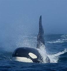Unterwasser Tiere Malvorlagen Instagram Damm That S A Cool Awesome Picture Orca Orca Whales