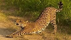 conserving big cats communities protecting the majestic jaguars in bolivia global environment