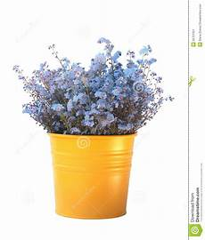 pot de fleur jaune bouquet des myosotis des marais dans le pot de fleurs