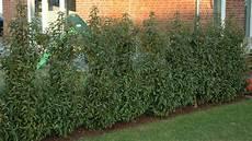 pflanztipp hecke portugiesischer lorbeer nachrichten