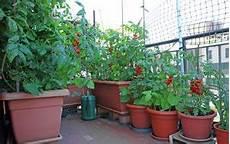 tomaten auf dem balkon ziehen wertvolle tipps zum anbau