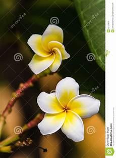 fiore frangipane plumeria o fiore frangipane sull albero di plumeria