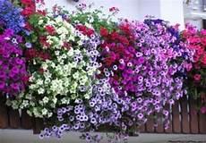 piante da davanzale piante e fiori da balcone resistenti ds 193