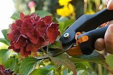 hortensien schneiden anleitung f 252 r fr 252 hjahr und herbst