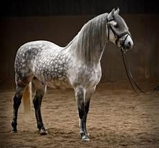 cavallo pomellato mantelli cavallo grigio pomellato coat colors
