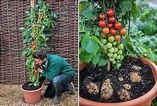 kartoffel tomaten pflanze diario territorio y desarrollo tomtato la planta que da