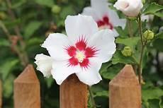 hibiskus schneiden 7 1 schnitte f 252 r eine gro 223 e