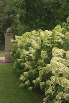 Limelight Panicle Hydrangea Hydrangea Paniculata