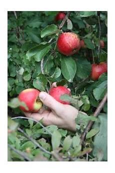 wann sind äpfel reif wann sind 196 pfel reif mundraub org