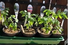 tomaten aus samen selber ziehen eine anleitung und ein