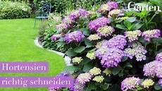 hortensien richtig schneiden hortensie schneiden