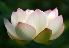 lotus blossom quotes quotesgram