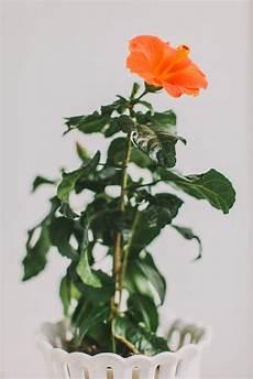 Hibiskus Pflege Zimmerpflanze - how to grow hibiscus in pots