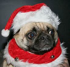 30 christmas pugs who really don t like you and the entire world