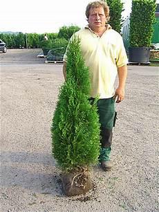 Lebensbaum Smaragd 120 140 Cm Premium Ballenware