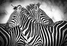 zebra tapete forwall fototapete tapete zebra weiss schwarz p8 368cm
